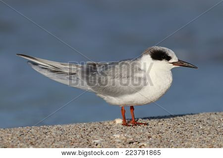 A Forster's Tern in non-breeding plumage on a beach in Florida with a blue ocean background
