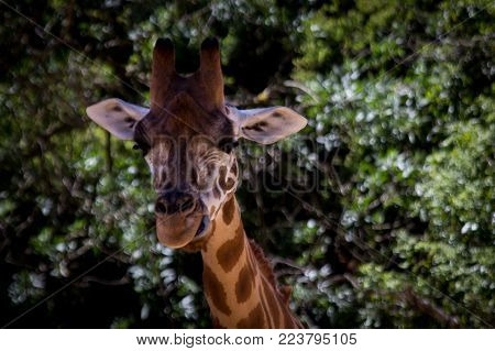 one tall Giraffe looking directly at camera