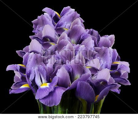A bouquet of spring flowers of  purple irises on the black  isolated background. Close-up. Nature.