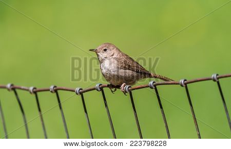 Bewick's wren perching on a wire fence