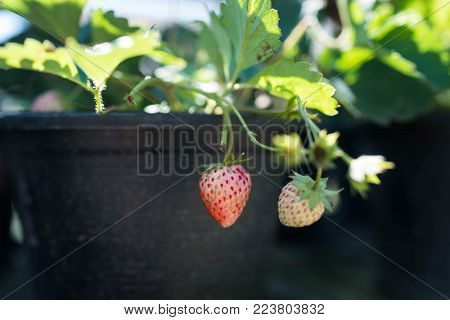 Strawberry tree with strawberry in pot and the pot of strawberry is for show in plantation too.