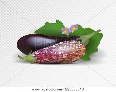 Vector photo-realistic fresh aubergine on a transparent background. 3D eggplant illustration. Purple and pockmarked eggplant.