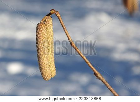 Catkins on common hazel (Corylus avellana) on the blurred background in winter