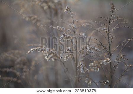 Beautiful dry stems of winter brown gray grass in january close-up
