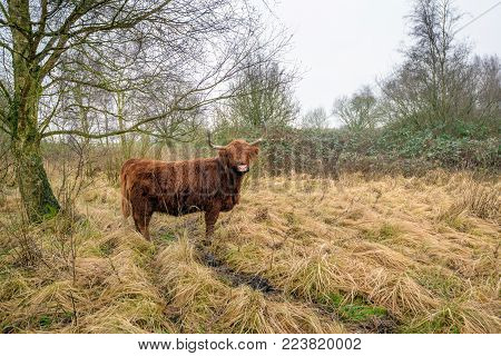 Highland cow between the yellowed grasses in a Dutch nature reserve looks at the photographer on a cloudy day in the winter season.