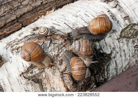 Burgundy Snail (helix, Roman Snail, Edible Snail, Escargot) Crawling On The Trunk Of Old Aspen Tree.