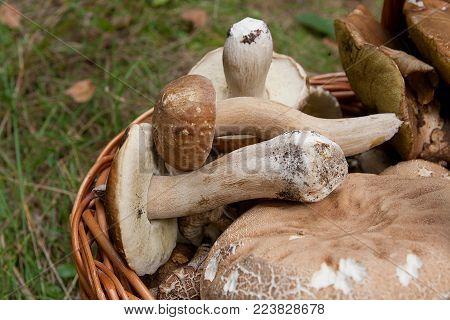 Porcini Mushroom Grows On The Forest Floor At Autumn Season..