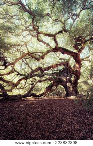 Angel Oak Tree, Charleston, South Carolina, USA