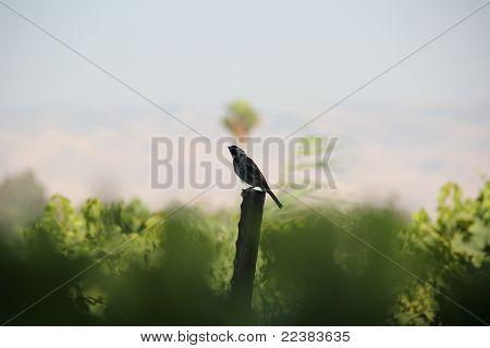 Sparrow in vineyard