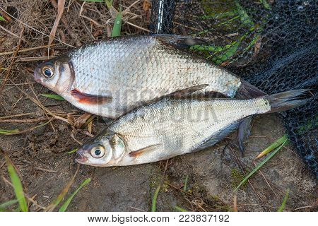 Single Freshwater Fish Common Bream And Fishing Rod With Reel On Natural Background..