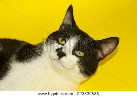Cute Smiling Tuxedo Cat With Funny Face.Tuxedo Cat Over Yellow Background. Close up of a Cat, Cropped Shot. Animal Portrait. Cat.