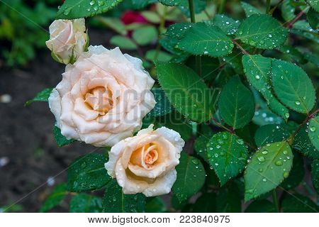 Close Up View Of Natural White Rose Flower On Green Bush After Rain..