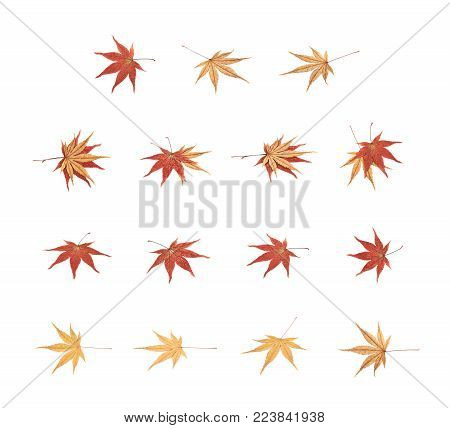 Japanese red and yellow maple leaves isolated over the white background, set of multiple different foreshortenings