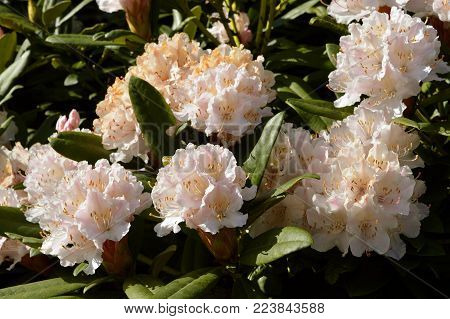 Rhododendron Christmas Cheer flowers in spring time