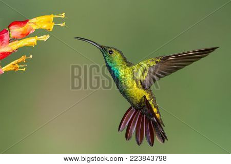 Green-breasted Mango hummingbird hovering as it feeds on flowers.