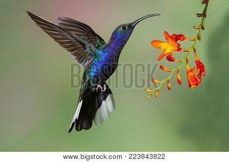 Violet Sabrewing hummingbird hovering before a flower as it feeds