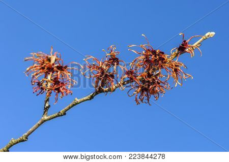 Hamamelis x Intermedia 'Jelena' (Witch Hazel) an orange red winter spring season flowering shrub