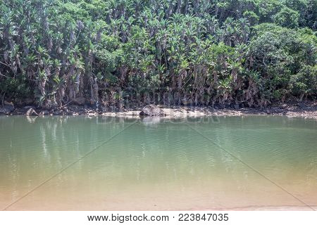 Tropical forest and river at low tide image. Sun dappled palmtrees at river edge.