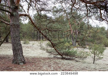 Picturesque strange place covered with lichen in pine forest of Volyn. Spruce branch in the foreground. Springtime nature in Europe