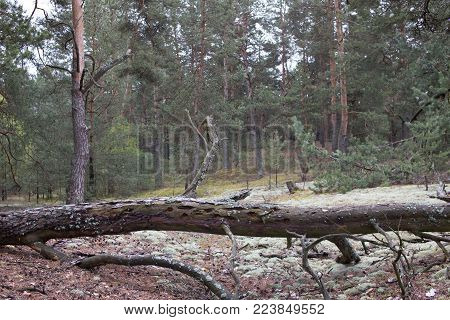 Picturesque old fallen tree trunk in pine forest of Volyn. Remains of trenches of World War One nowadays. Battleground of Brusilov Offensive or June Advance on Eastern Front