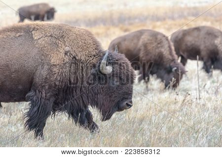 A Herd of American Bison on the Colorado Plains