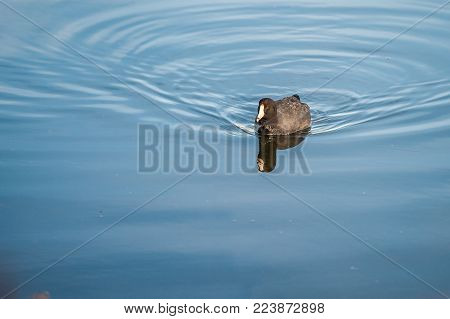 American Coot and his reflection paddling across the calm waters of the estuary .