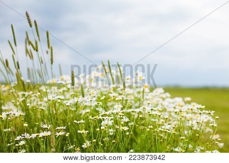 Beautiful rustic Nature Summer flower Background with selective focus. Landscape with flowering daisies. White chamomile flowers growing the green wild meadow. Wallpaper of rural scenery