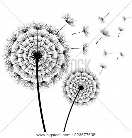 Beautiful stylish nature white background with two stylized black dandelions blowing isolated. Floral trendy wallpaper with summer, spring flowers and flying fluff. Modern backdrop, vector