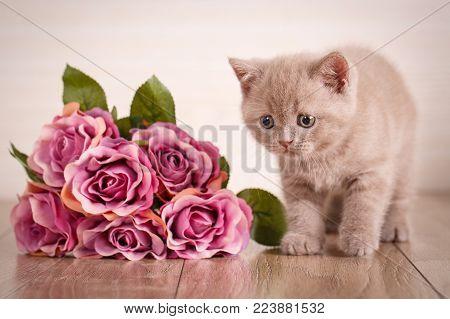 Cat. Scottish Cat Scottish Fold Kitten. Cat At Home.