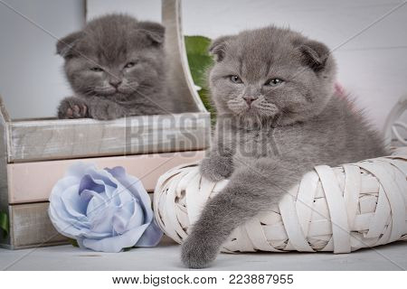 Sleeping Scottish Kittens. Home, calm and love concept - two Scottish Fold Cats fall asleep. Beautiful decorated house for kittens.