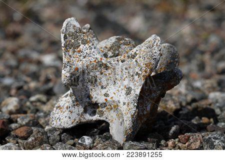 Old caribou vertebrate bone found on the arctic tundra, near Arviat Nunavut Canada