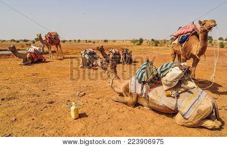 Camels Waiting On Desert In Jaisalmer, Rajasthan, India.
