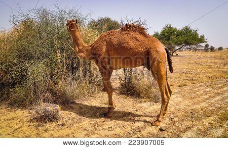 A Camel Standing On Thar Desert In Jaisalmer, Rajasthan, India.