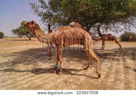 Camels Waiting On Thar Desert In Jaisalmer, Rajasthan, India.