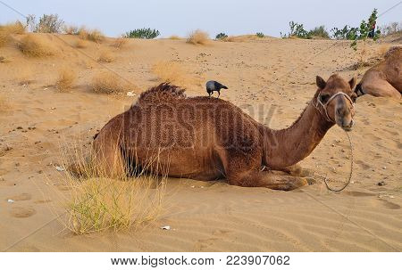 A Camel Waiting On Thar Desert In Jaisalmer, Rajasthan State Of India.