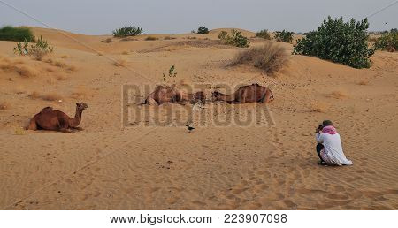 A Tourist Taking Picture Of Camels On Thar Desert In Jaisalmer, Rajasthan State Of India.