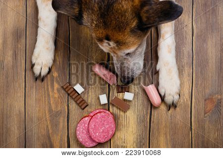 Dog eating banned food. Unhealthy meal for animals. Copy space