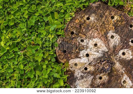 tree log with clover and holes at the snag