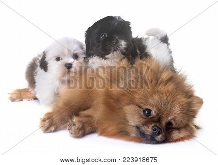 puppies shih tzu and spitz in front of white background