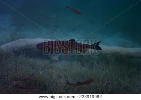 An image of fishes swimming in a lake, taken in the national park Plitvice, Croatia