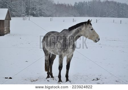 white horse on winter pasture. South Bohemia, Czech Republic