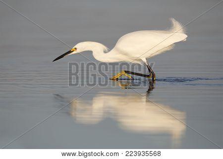 Snowy Egret Stalking A Fish - Fort Desoto Park, Florida