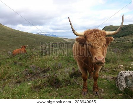 Highlander the typical beef breed originally from Scotland