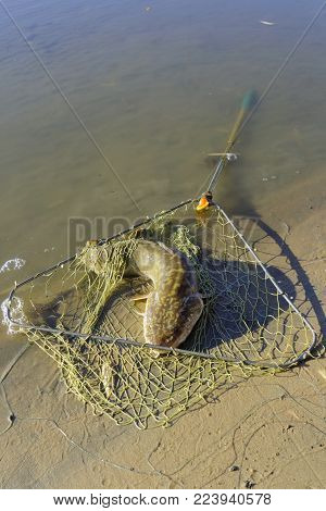 Caught burbot lies near the river bank in a fishing net