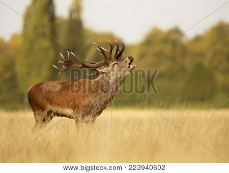 Red deer stag bellowing in the meadow in autumn. Rutting season, UK.