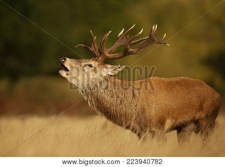 Red deer stag bellowing during rutting season, UK.