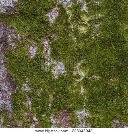 Tree trunk covered in bright green moss. Vibrant green moss growing naturally across tree trunks for this background photograph.
