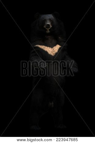 asiatic black bear or moon bear standing in the dark poster
