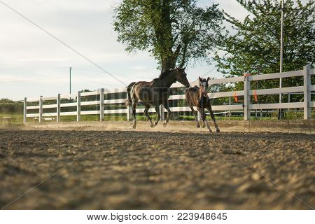 running mummy and baby horse, running throught the dust, little foal having fun in the summer, worry free animals