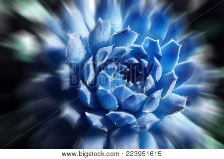 Beautiful Succulent In Ice Blue With Zoom Burst High Quality Stock Photo